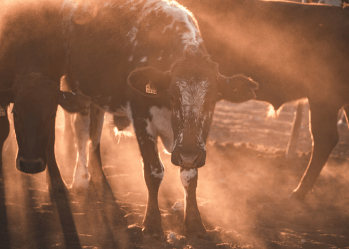 Quest to make cattlefart like marsupials