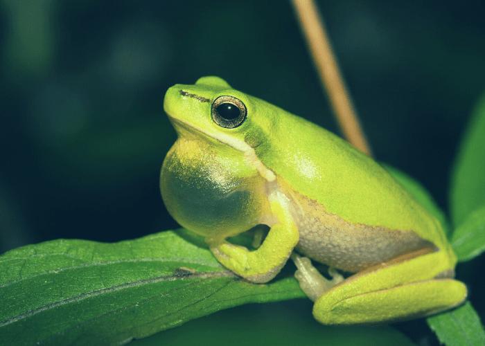 Disease threatens massextinction of frogs